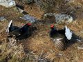 Black grouse - Tetrao tetrix